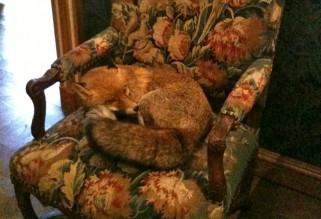 Musée de la Chasse et de la Nature - a foxy snooze
